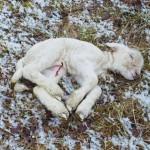 Neugeborenes Lamm. Kältetod auf Dauerfrostboden im Winter.