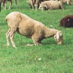 Schaf-Moderhinke