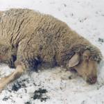 Schaf-tot-Winter